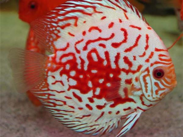 Freshwater tropical fish chat the king of freshwater the for Jans tropical fish
